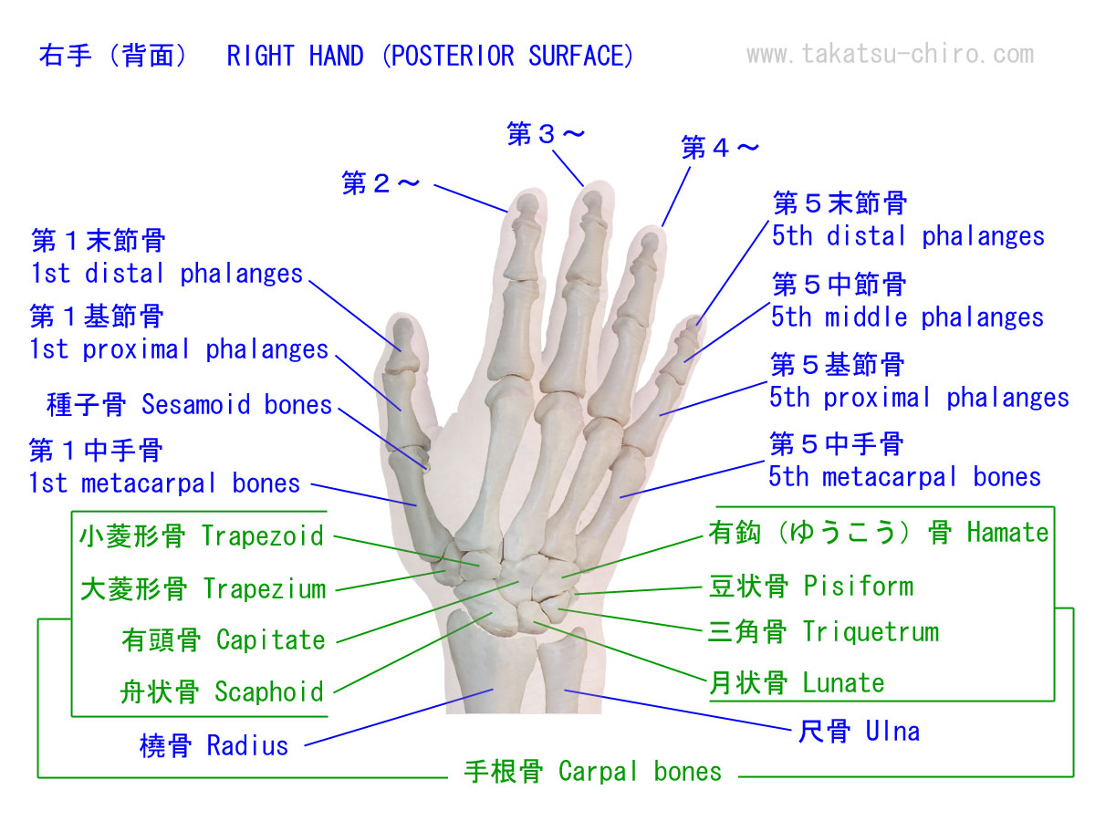 Proximal Middle Distal Phalanges